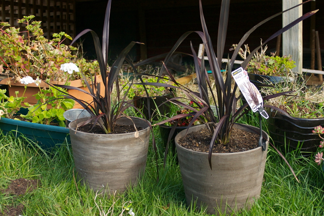 flax in pots