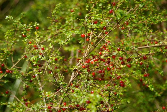 spiky tea tree berry