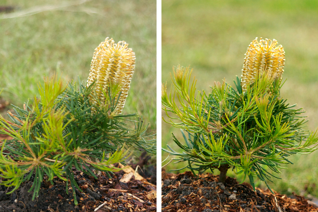 banksia focal lengths