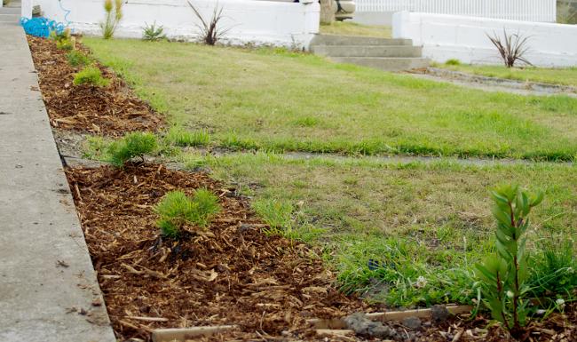 banksia hedge row