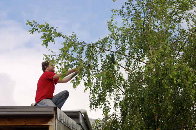 clip birch