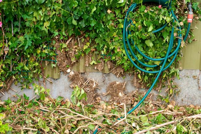 cut ivy roots
