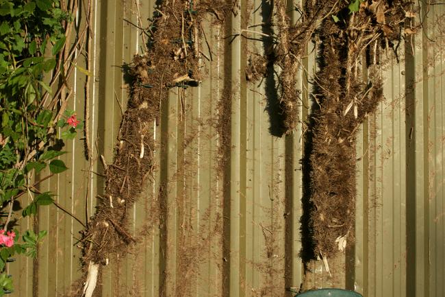 ivy stumps