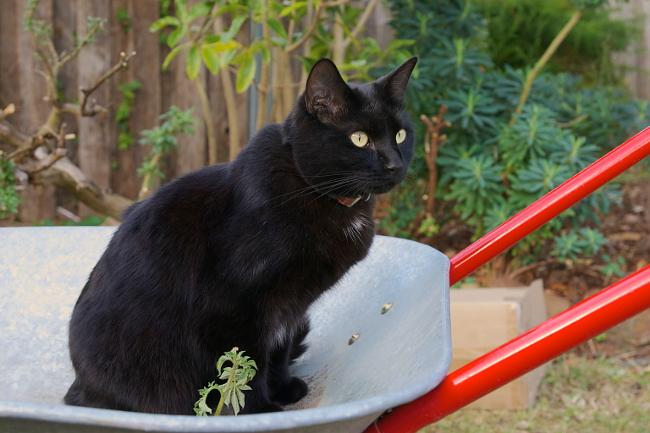 mishka in a wheelbarrow