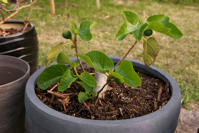 fig tree pot