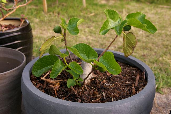 fig tree pot