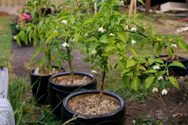 potted chili
