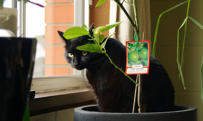 cat in potted lime tree