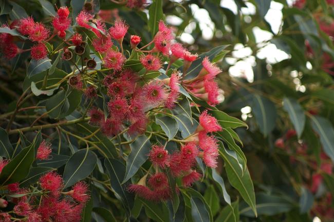 corymbia flowers
