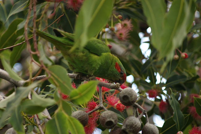 green lorikeet
