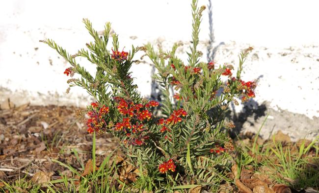 grevillea bush