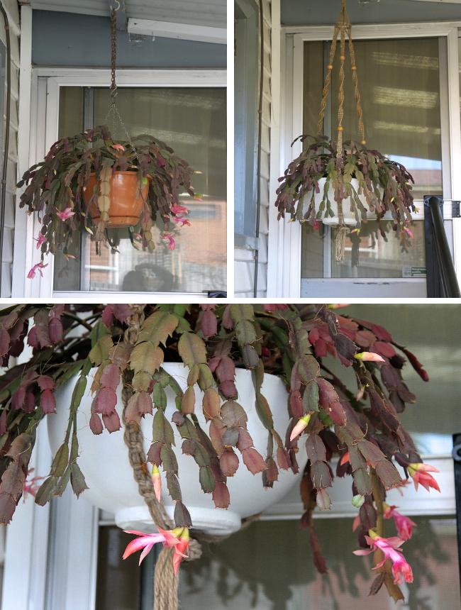 Hanging cactus planter