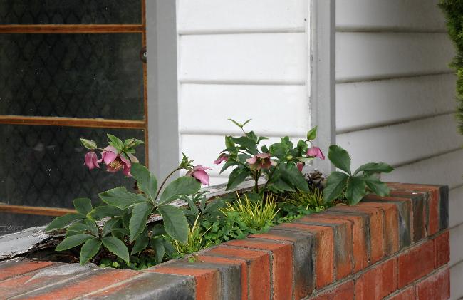Hellebore planter