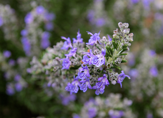rosemary purple flowers