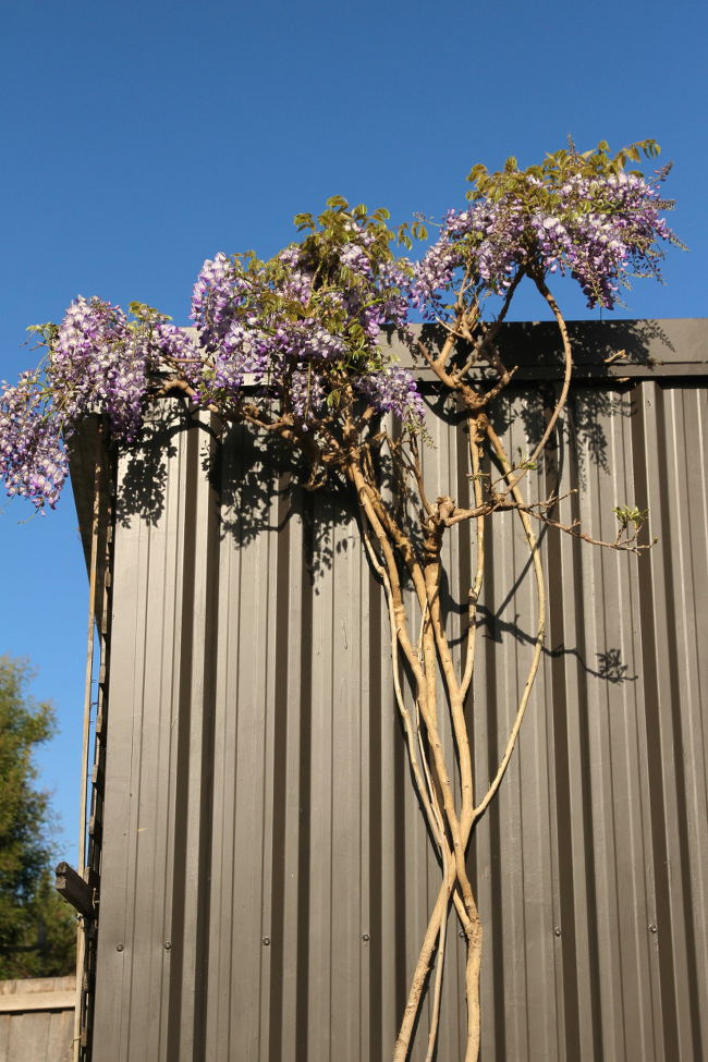 wisteria on colorbond