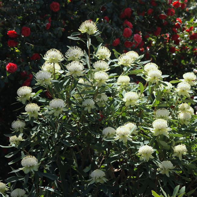 White waratah, Royal Tasmanian Botanical Gardens