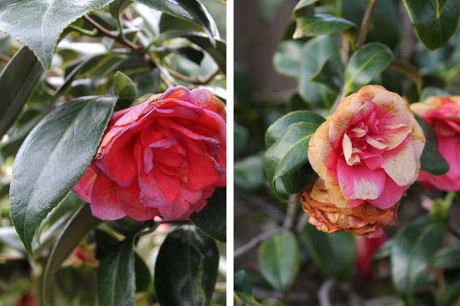 bruised camellia