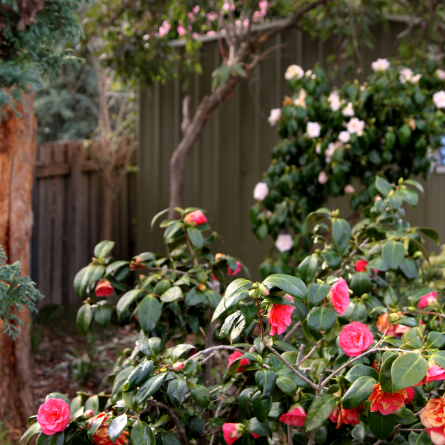 group of camellias