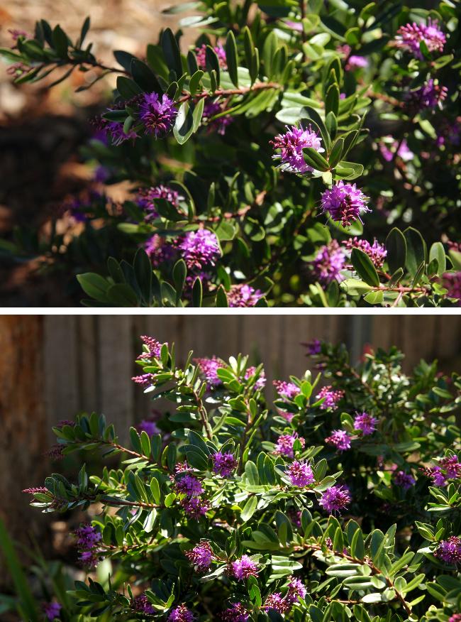 Hebe purple bloom