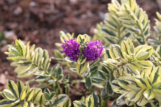 Hebe Waireka bloom