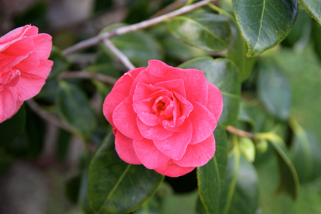 hot pink camellia