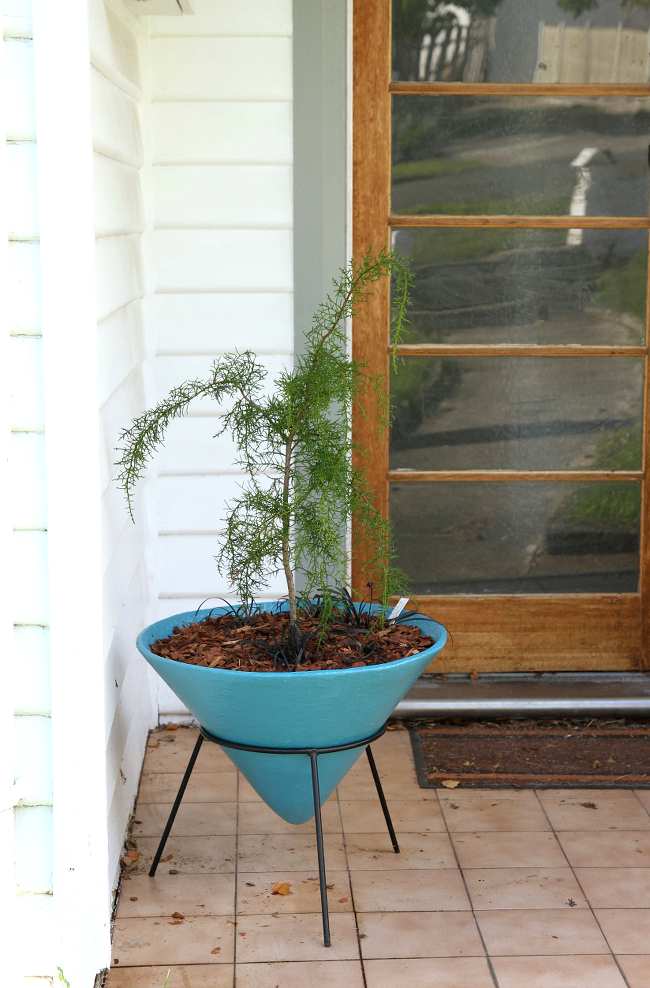 Huon pine in retro planter