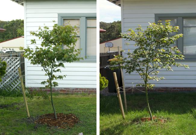 Japanese maple sapling