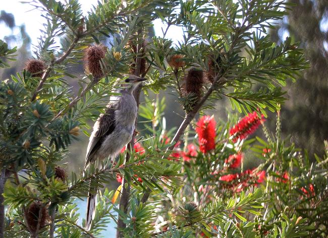 juvenile wattlebird
