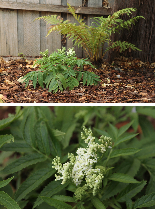 Native white elderberry