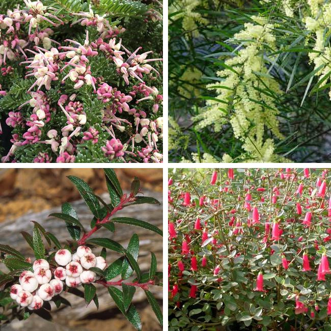 Grevillea, wattle, snowberry, correa