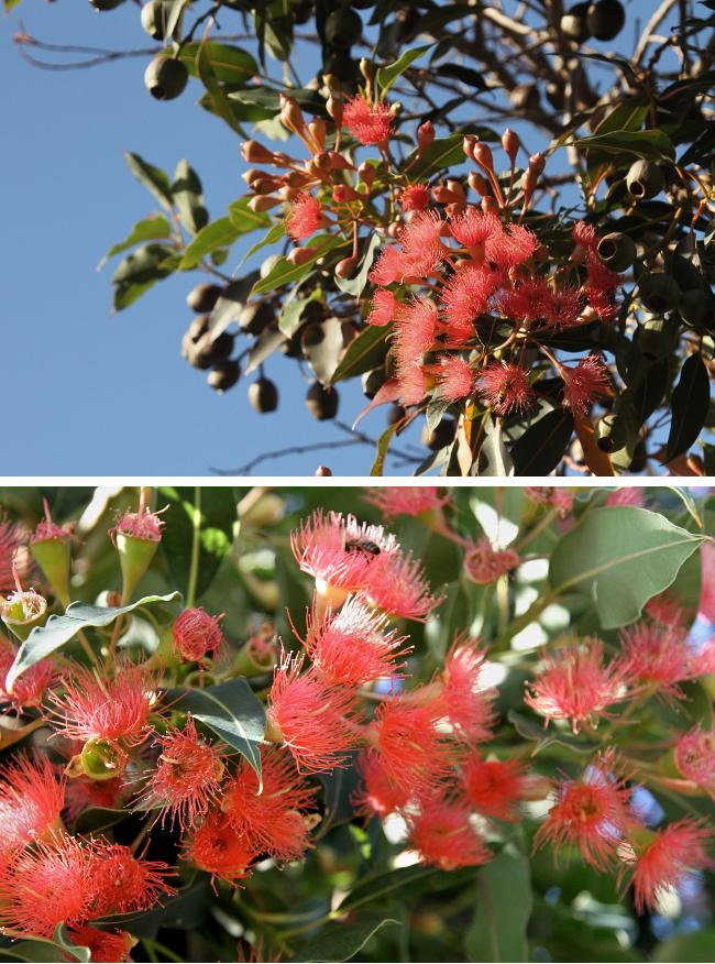 Pink eucalyptus flowers