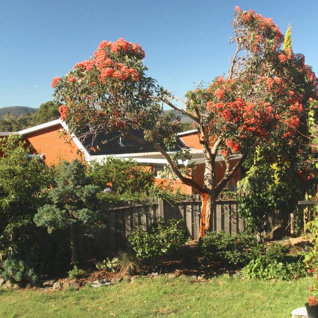 Pink-flowering eucalyptus